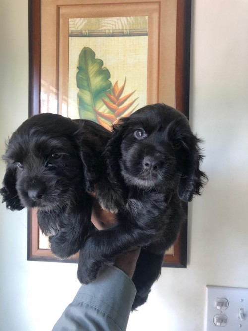 Cockerspaniel Pups Males,6wks Old