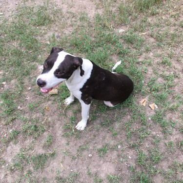 One Year Old Pitbull