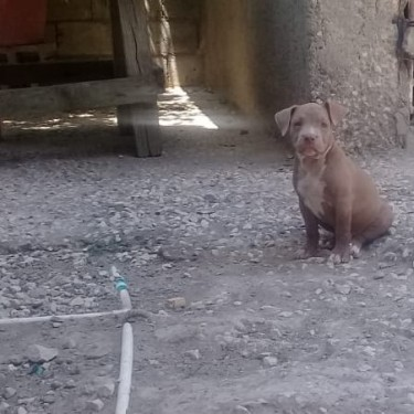 Female American Bull Terrier Puppy
