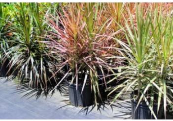 BEAUTIFUL COLOURAMA PLANTS FOR SALE