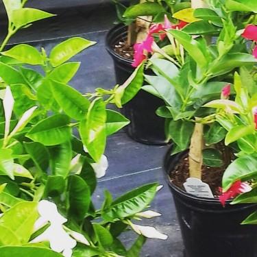 BEAUTIFUL MANDEVILLIA PLANTS FOR SALE