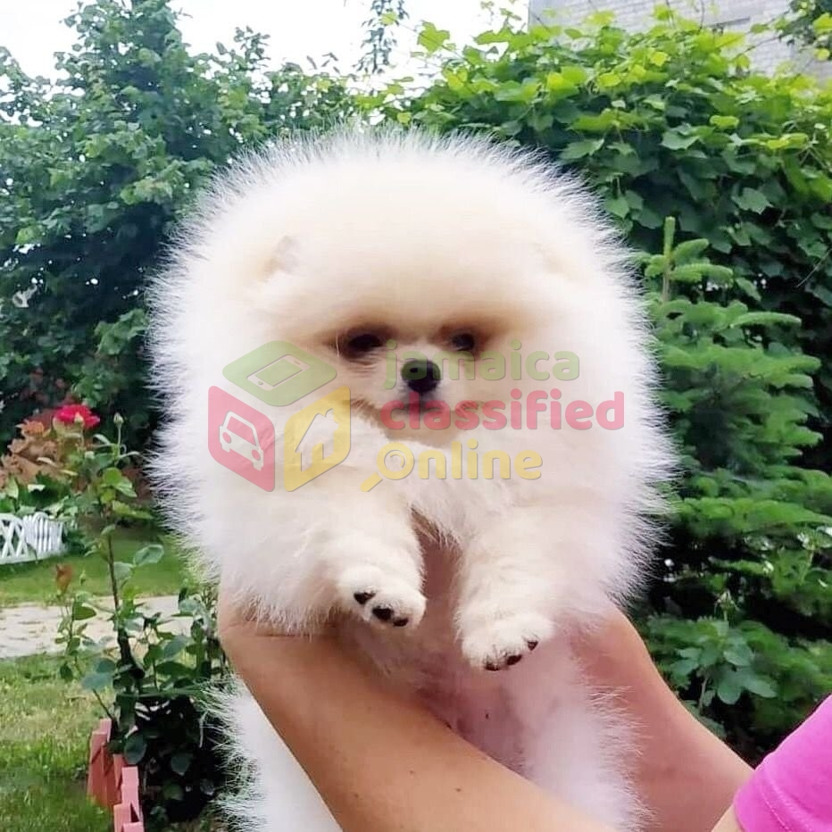 Available Pomeranian Puppies for sale in Portland Portland