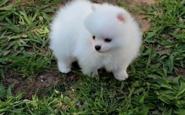 Available Pomeranian Puppies