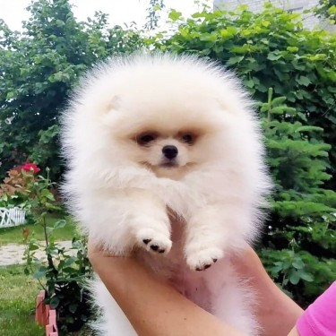 Home Raised Pomeranian Puppies