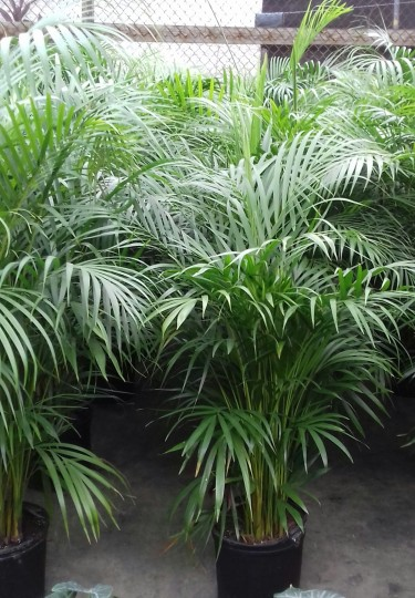 BEAUTIFUL LUSH ARECA PALMS FOR SALE
