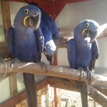 Baby Hyacinth Macaw