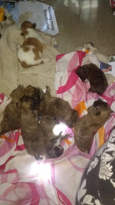 Shih Tzu Pomeranian Mix Pups