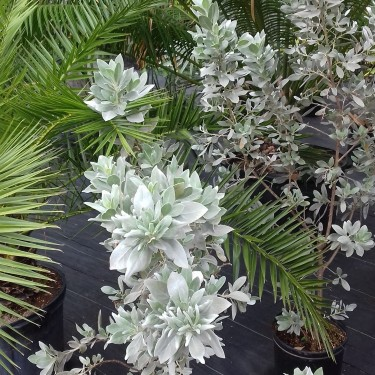 BEAUTIFUL SILVER BUTTON WOOD PLANTS FOR SALE