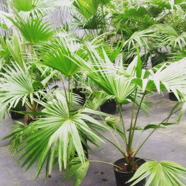 BEAUTIFUL CHINESE FAN PALMS FOR SALE