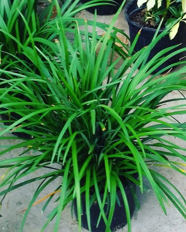BEAUTIFUL ORNAMENTAL GRASS FOR SALE