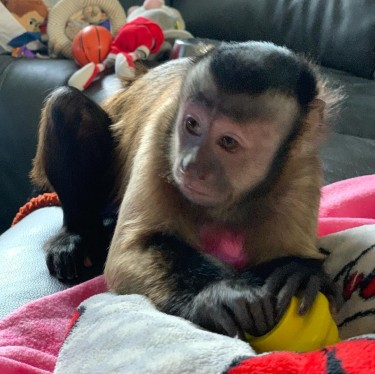 Playful Capuchin Monkey For Sell