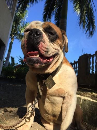 Male Bulldog Studding Services