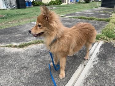 FullBred Pomeranian Puppy