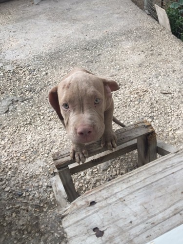 Purebred Pitbull Pups - 3.5 Months Old