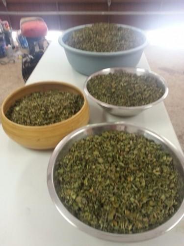 Moringa Oleifera For Sale