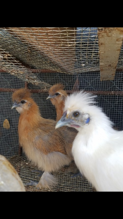 Silkie Chicken Birds