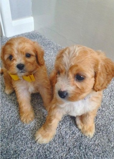 Stunning Red Cavapoo Puppies Ready Now