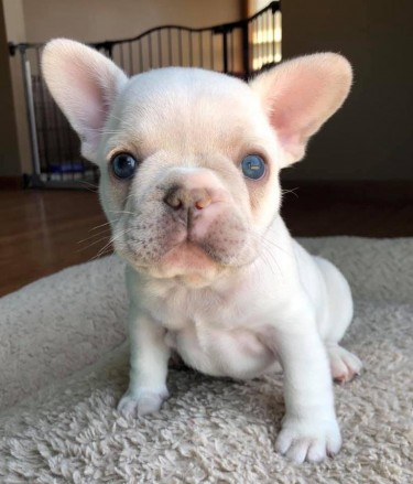 French Bulldogs For Sale And Ready To Leave Now
