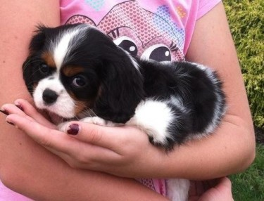 Cavalier King Charles Puppies Looking For New Hom