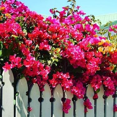 BEAUTIFUL BOUGAINVILLEA PLANTS FOR SALE