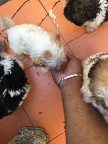Shih Tzu - Poodle Mix Puppies