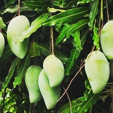 MANGO TREES FOR SALE
