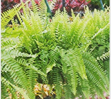BEAUTIFUL BOSTON FERNS FOR SALE