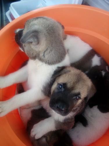 Beautiful Akita Pups