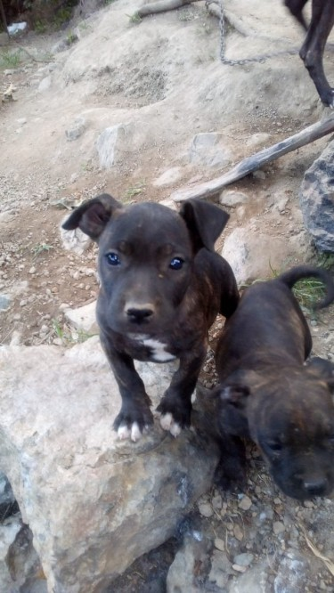 Straight Pit Bull Male Pup For Sale