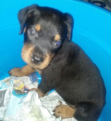 Reg Rottweiler Male Pup (the Runt Of The Litter)