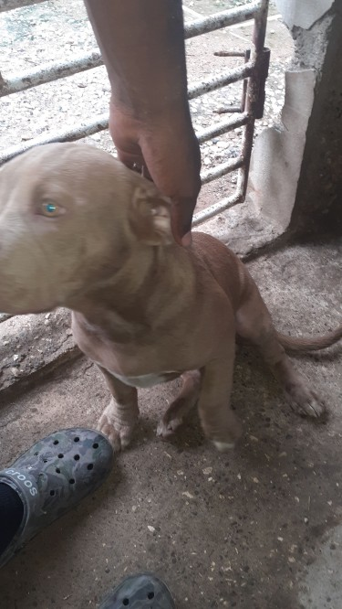 5 Month Old Pitbull Pup For Sale