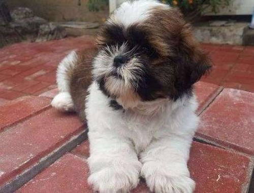 Shih Tzu Puppies For Pet Homes