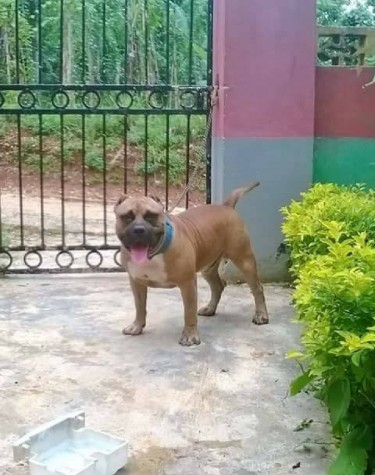 Pure Breed Pitbull Puppies For Sale