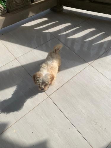 Female Shih Tzu Mix With Poodle