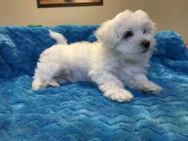 Outstanding Maltese Puppies