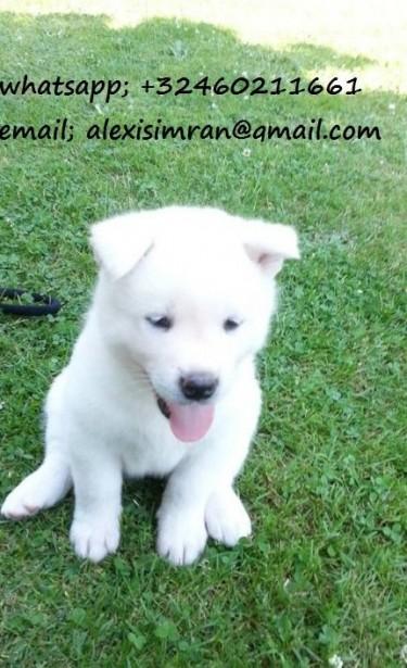 Akita Puppies.