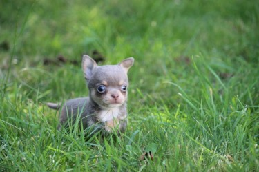 Chihuahua Available For New Family.