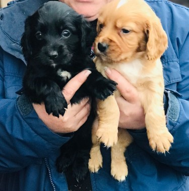 Beautiful Cocker Spaniel Puppies Ready