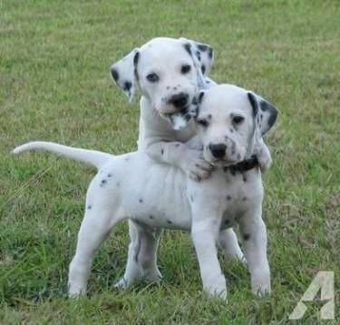 Beautiful Dalmatians Puppies