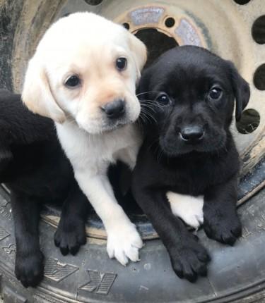 Lovely Labrado Retriever Puppies