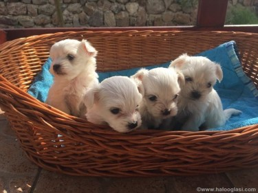 Super Cute Maltese Puppies Ready