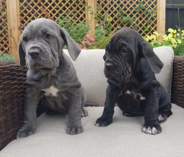 Neopolitan Mstiff Puppies