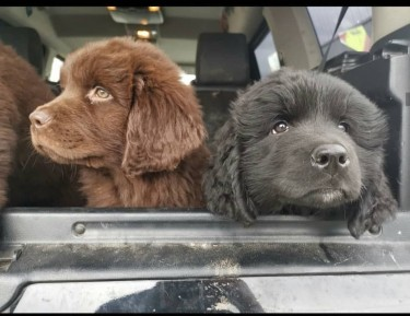 Newfoundland Puppies Ready Now