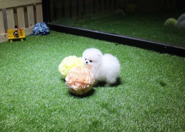 T- CUP Pomeranian Puppies