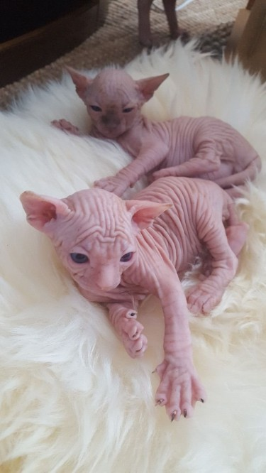 Charming 100% Male And Female Sphynx Kittens