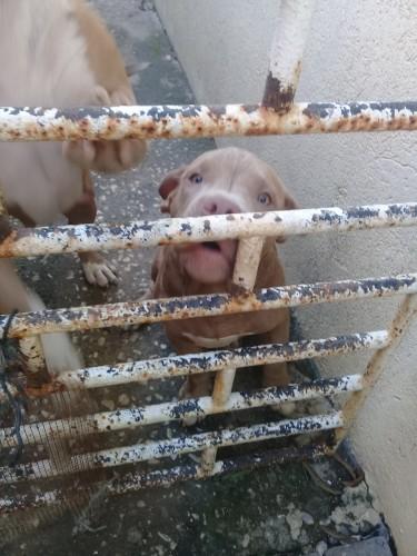 Pitbull Puppy