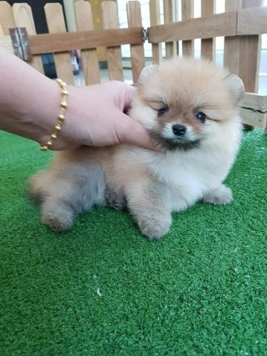 Pure Pomeranian Puppies For Sale