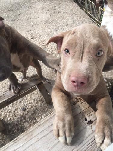 Purebred Pitbull Pup
