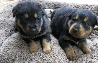 German Shepherd Rottweiler Mix Puppies