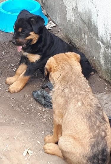 Rotti Mix Shepard Pups